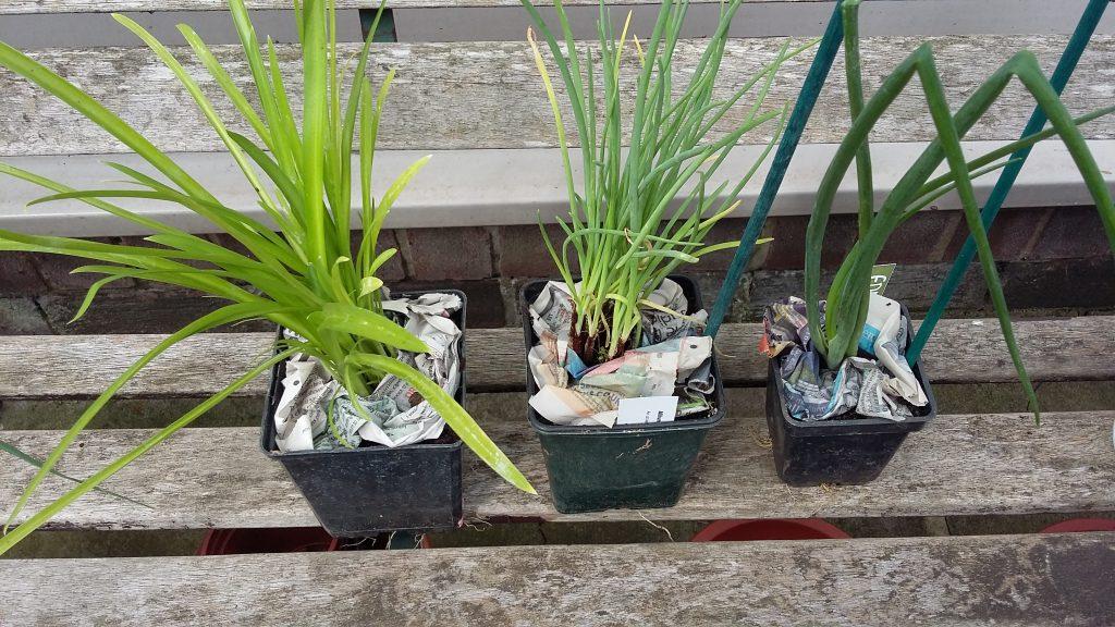 Allium hookeri 'Zorami' Allium cepa 'Perutile' Allium schoenoprasum 'Black Isle Blush'