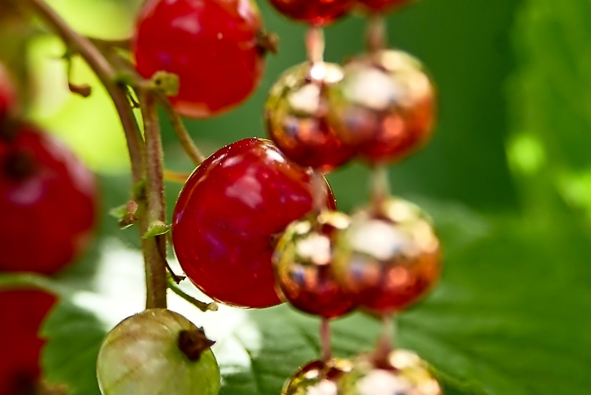 Counterfeit Currants